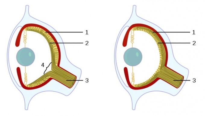 척추동물의 눈(왼쪽)과 두족류(오른쪽)의 눈은 망막의 구조가 다르다. 척추동물은 망막(1) 안쪽에 신경섬유(2)가 있어서 시신경 다발(3)로 묶이는 지점인 시각신경유두(4)에 빛수용체가 없다. 그 결과 이 영역의 시각정보가 없어 맹점이 존재한다. 반면 두족류는 망막 바깥쪽에 신경섬유가 있기 때문에 망막이 온전해 맹점이 없다.  - 위키피디아 제공